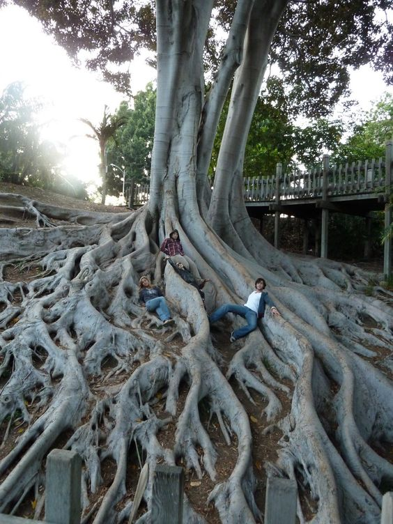 Tree Roots At Balboa Park San Diego California Places