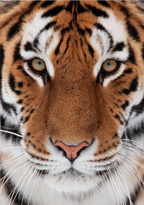 Bengal tiger, Tigers and Siberian tiger on Pinterest