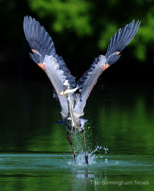 Awesome heron