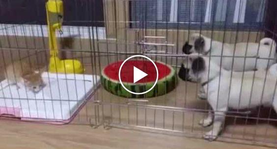 Gatinho De Meses Mostra a Cães Quem Domina o Espaço http://www.funco.biz/gatinho-meses-mostra-caes-domina-espaco/