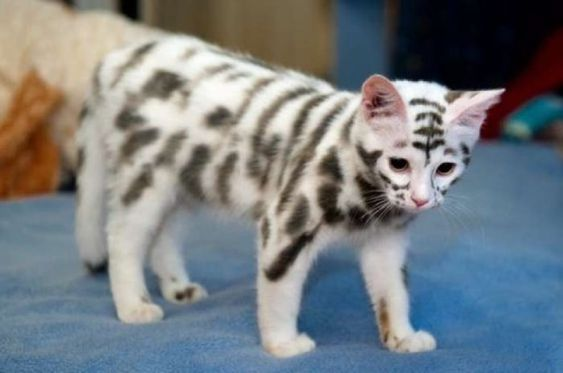 Have you ever seen a cat with such unusual markings? It's known as the Moscow…: