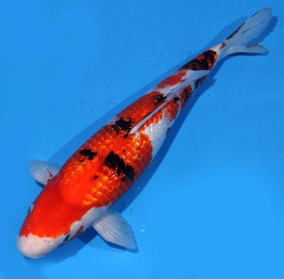 Live koi fish 14 gin rin sanke red white black sparkling for Red and white koi fish