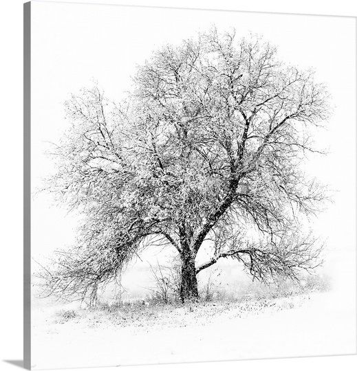 A black and white image of an old Black Willow standing alone in a blizzard