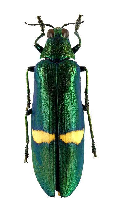 Chrysochroa descampentriesi