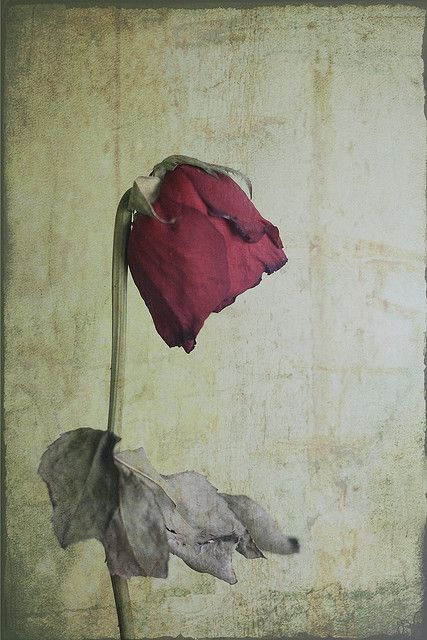 withered rose by aashee, via Flickr