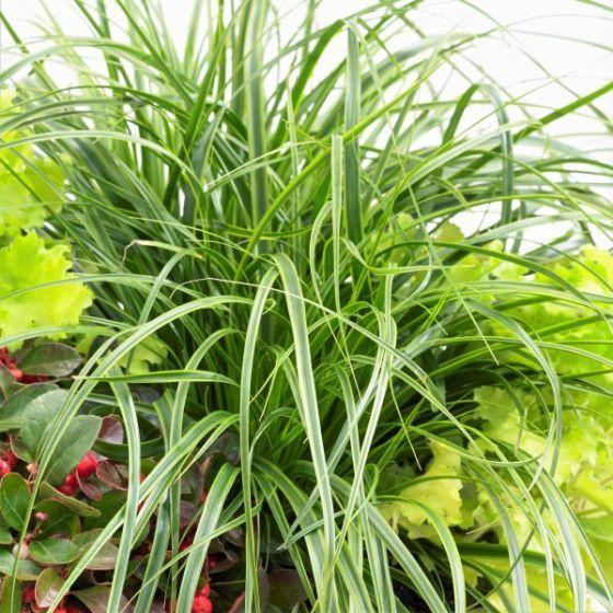 Evercolor Everlime Variegated Sedge Grass Large Plants Invasive Plants Plants