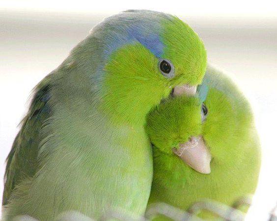Parrotlettes