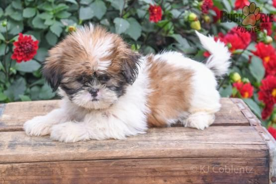 Penny Shih Tzu Puppy For Sale In Fresno Oh Shih Tzu Puppy Puppies For Sale Puppies