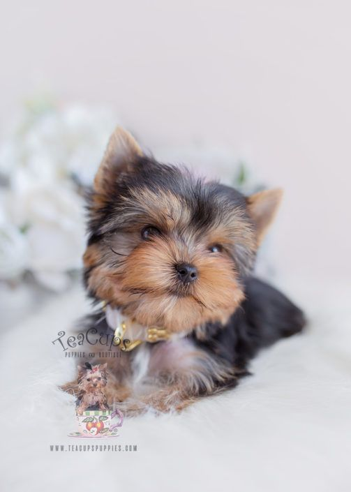 Teacup Yorkie Available Today - Save Up To 50%                                         Ad                                                                                                                 Viewing ads is privacy protected by DuckDuckGo. Ad clicks are managed by Microsoft's ad network (more info).