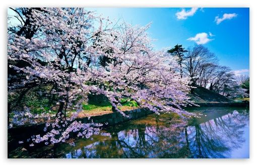Cherry Blossom Trees Hd Wallpaper For 4k Uhd Widescreen Desktop Smartphone Cherry Blossom Wallpaper Spring Wallpaper Landscape Wallpaper