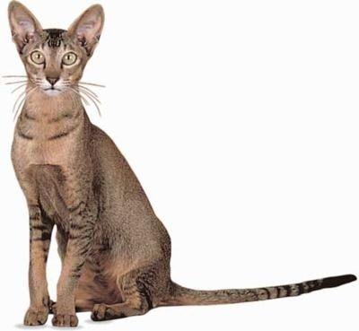 Art Oriental Shorthair pets