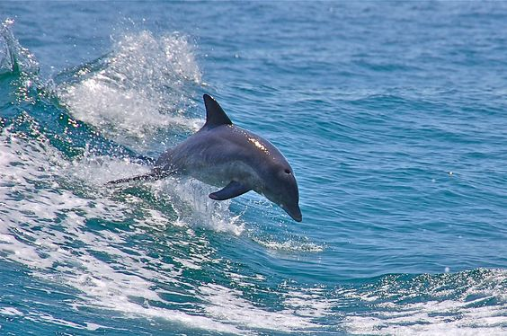 Dolphins in the Gulf of Mexico, taken from the Sea Screamer off Panama City Beach, Florida.