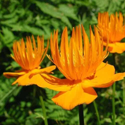 Image result for The Trollius
