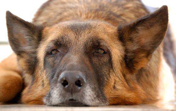 Everything about German Shepherds.: