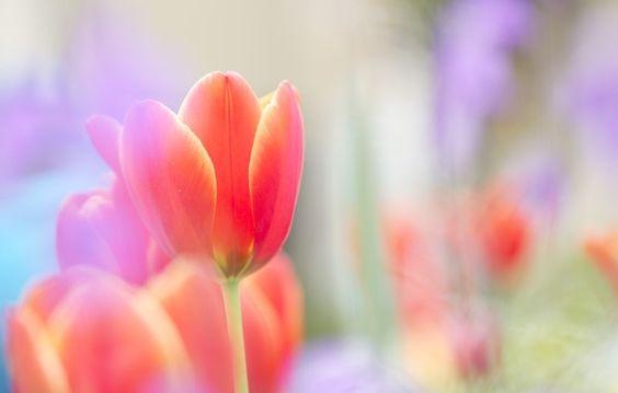 Обои картинки фото тюльпан, красный, алый, яркий, бутон