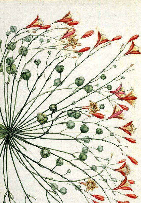 Alstroemeria...del Nuevo Reino de Granada (1783-1816)... Real Jardín Botánico-CSIC.