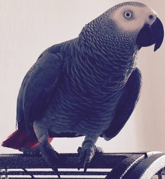 LOST AFRICAN GREY: 16/09/2016 - Coventry, West Midlands, England, United Kingdom. Ref#: L26409 - #ParrotAlert #LostBird #LostParrot #MissingBird #MissingParrot #LostAfricanGrey #MissingAfricanGrey