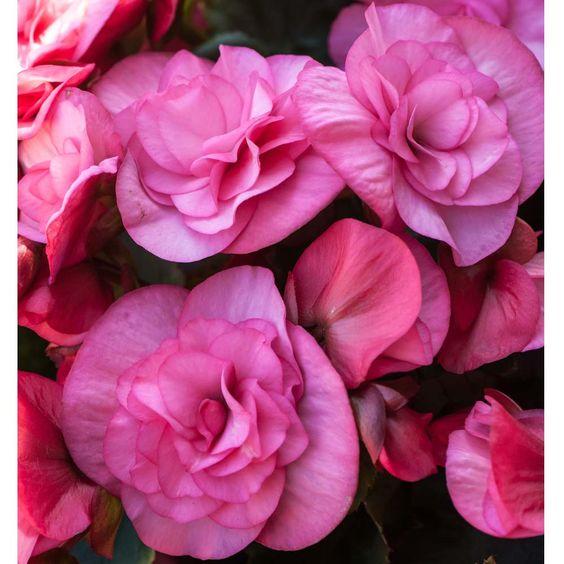 Buy Begonia Plants - Order Begonia Plants Online | Thompson & Morgan