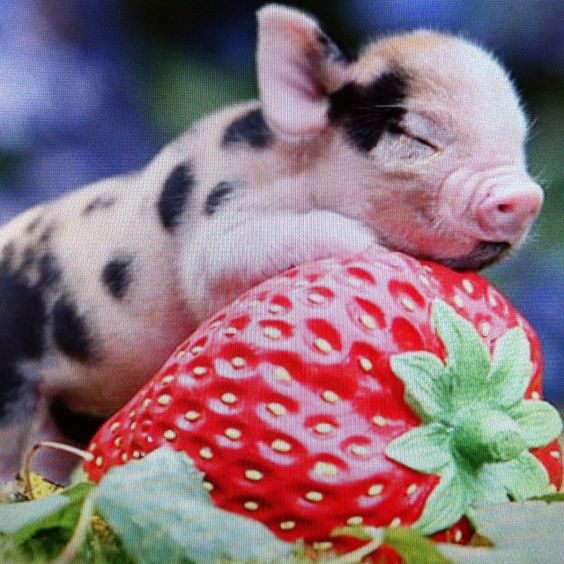 Micro pig! Now that's one small pig! - or a really BIG strawberry !