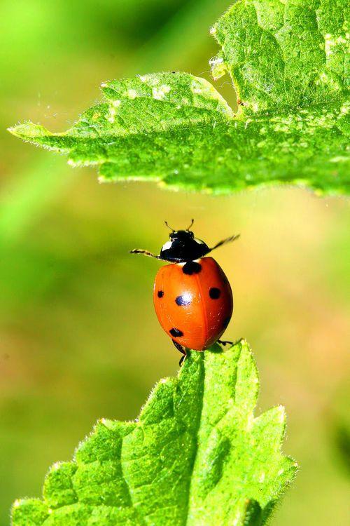 Ladybug standing on her tail!!!!
