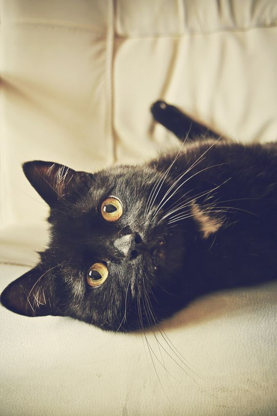 golden eyes, gorgeous fur, beautiful black cat.