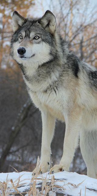 Wolf   by McKenzie Greenly on Flickr