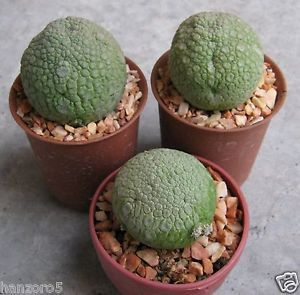 3 x Pseudolithos Migiurtinus Cactus Succulent No Ariocarpus Astrophytum Aztekium