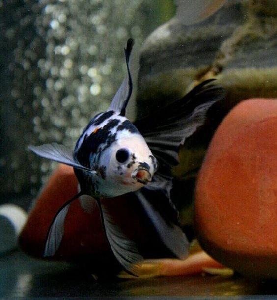 Goldfish midnight shubunkin goldfish pinterest for Shubunki fische