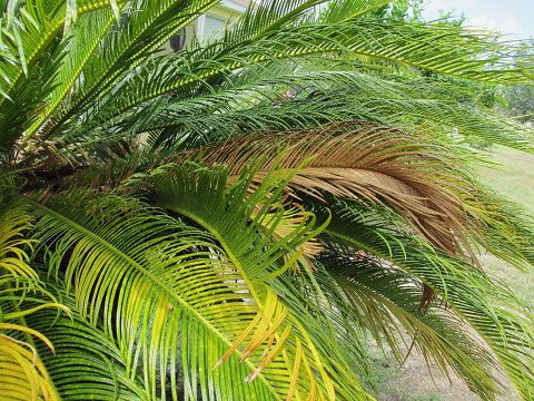 If A Sago Palm Has Brown Leaf Tips It Could Be A Cultural Disease Or Pest Issue Sometimes The Problem Is Simple But It M Sago Palm Sago Palm Tree Palm