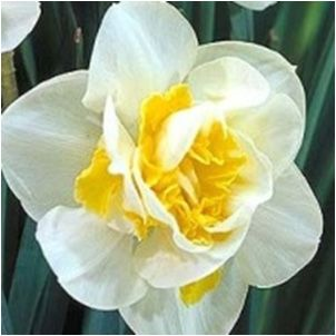 Narcissus (can probably incorporate into the bouquet for a little bit of yellow)