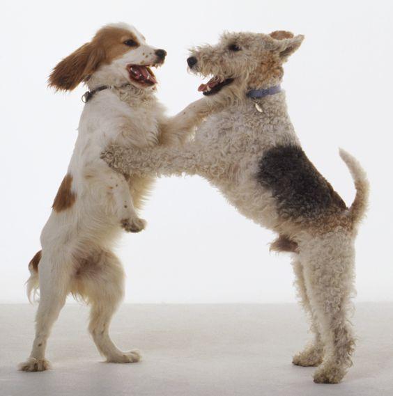 wire fox terrier - Google Search