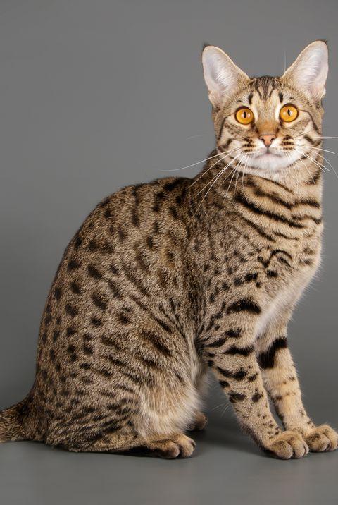 A List Of The Most Beautiful Large Cat Breeds Katzen Rassen