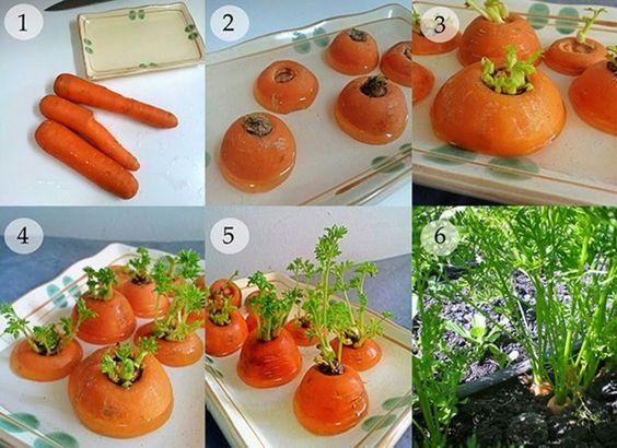 Zanahorias cortadas y puestas en un recipiente con agua para despues colocarlas en un maceta
