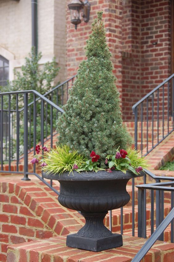 Dwarf Evergreens For Containers Living Christmas Tree