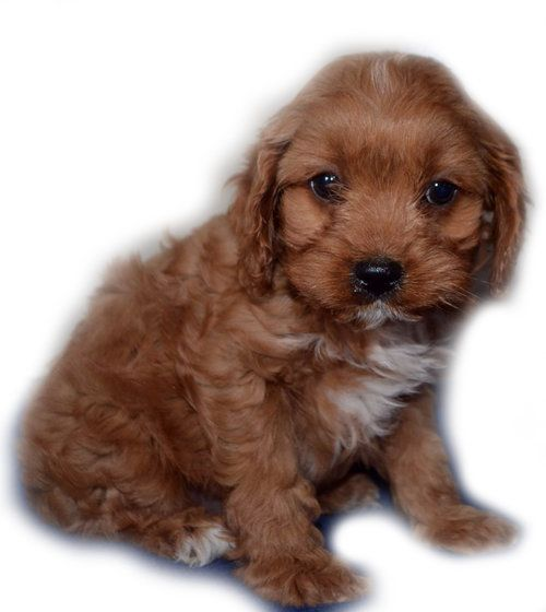 Red Toy Cavoodle Cavapoo Rare Dogs Cavadoodle