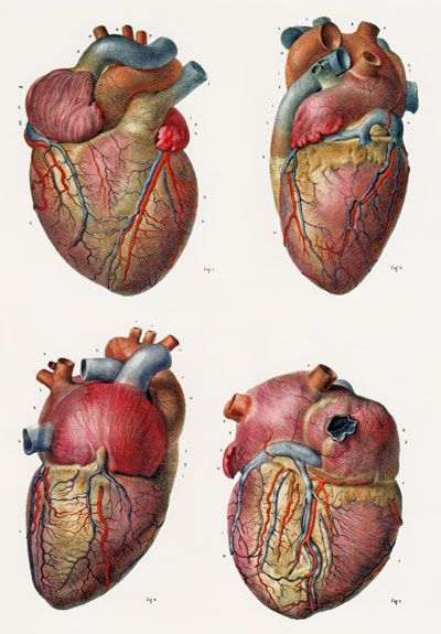 Human heart anatomy vintage - photo#21