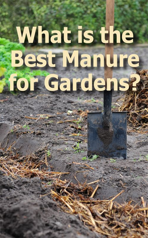 Is Cow Manure Good For Vegetable Gardens