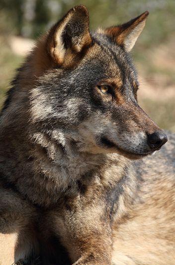 Iberian wolf (Canis lupus signatus) by Ian MacFayden: