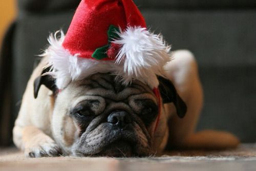 "we-heart-pugs: """"Merry freakin' Christmas."" """
