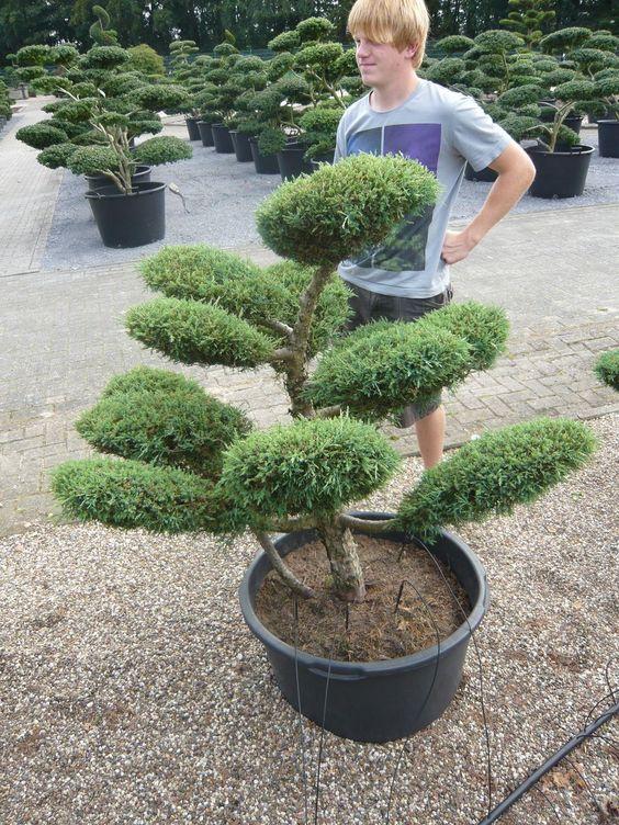 Jeder Gartenbonsai ist einzigartig und wird über viele Jahre aufwändig in Form gebracht
