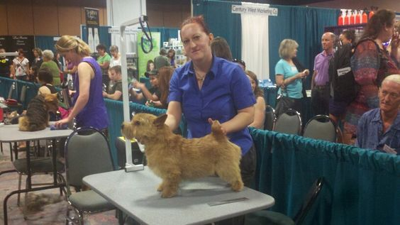 Handstripped Norwich Terrier by Lisa Lewis