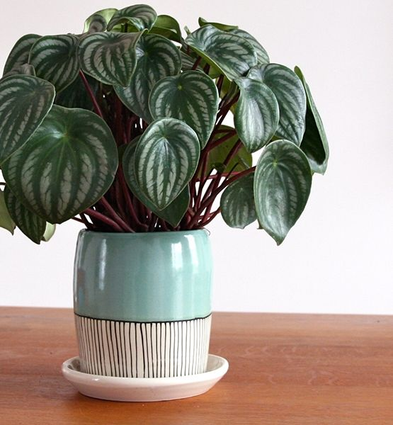 guide to easy, indoor plants..The Kids Room    Peperomia Argyreia (Common Name: Watermelon Peperomia)    With its vibrant fruitlike foliage, the Watermelon Peperomia will brighten up any kid's room in a hanging basket. Ubiquitous in South America and the Caribbean, this tropical wonder likes a lot of light, but only needs to be watered sparingly.