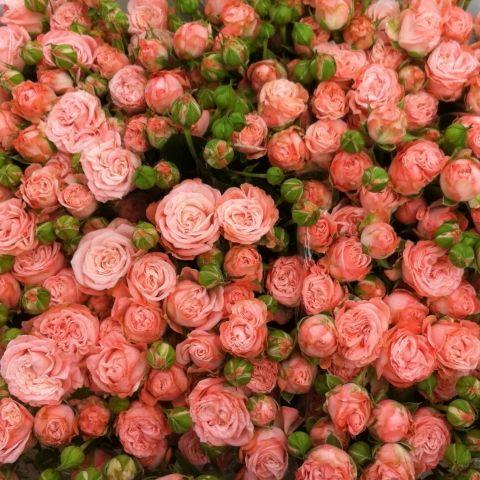 niederländische Rosen