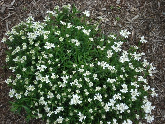 """Iberis Tahoe.  Ground cover, compact 10"""" mounds of evergreen foliage dense with large white clusters of flowers in spring. Good as under planting for drought-proof Sedums, reblooming Daylilies, & other Sun Perennials."""