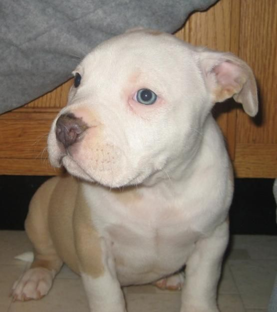 American Pitbull Terrier Puppies Brown And White american pit bull ...
