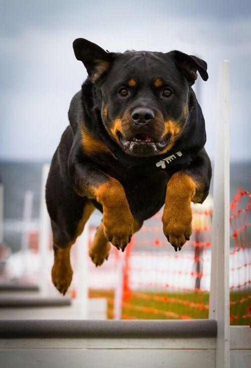 Gewoon een gaaf beeld, een hond die je niet zo heel vaak ziet in de agility #behendigheid #agility #rottweiler