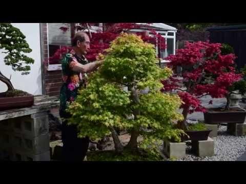 Maple Bonsai Pruning Youtube Bonsai Pruning Maple Bonsai Bonsai