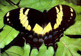 Top 10 borboletas raras ou ameaçadas