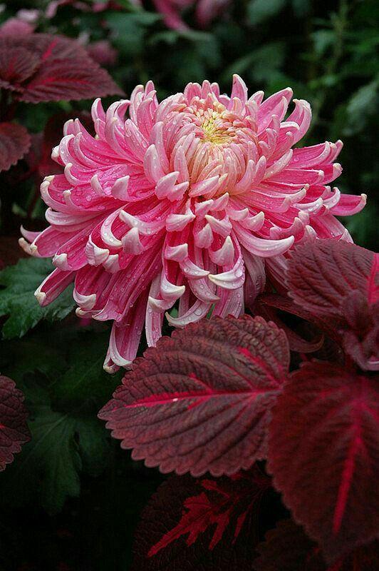 Pin By Mona Moni On Krizantema Lule Shen Mitri Beautiful Flowers Garden Flower Beds Flowers