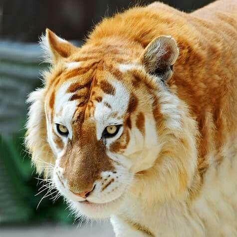 Tigre doutorado